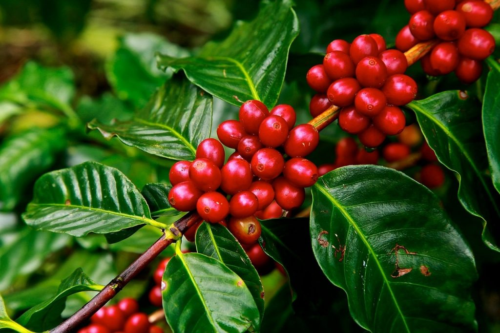 What does a coffee plant look like